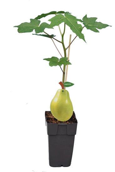 Carica papaya P11