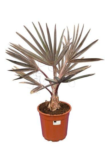 Bismarckia nobilis Topf Ø 24 cm