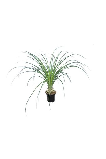Puya mirabilis Topf Ø 13 cm