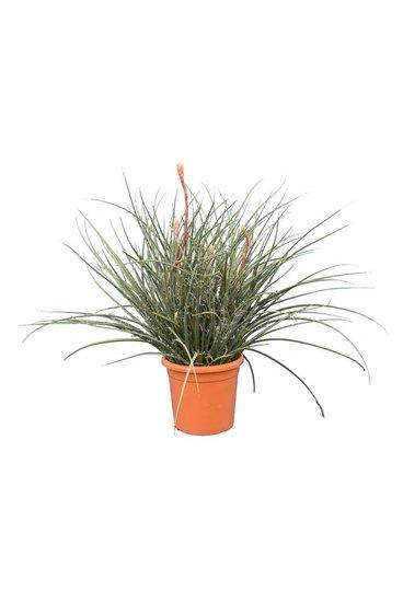 Hesperaloe parviflora Topf Ø 32 cm