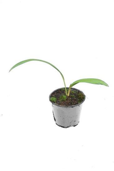Livistona chinensis - Gesamthöhe 40-50 cm - pot Ø 13 cm