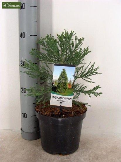 Sequoiadendron giganteum 3 ltr