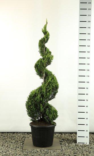 Cupressocyparis leylandii sp. Castlewellan Gold spiraal extra - Sprirale 160-180 cm