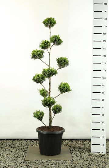Cupressocyparis leylandii sp. Castlewellan Gold Multibol - Gesamthöhe 125-150 cm