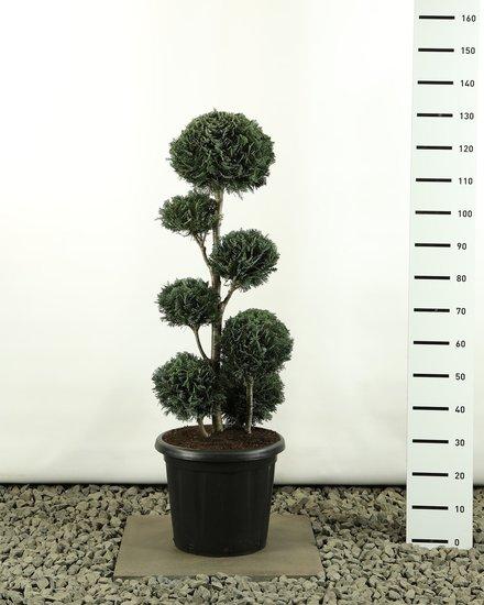 Chamaecyparis lawsonia Columnaris multiball extra Gesamthöhe 100-125 cm