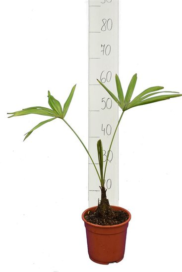 Trachycarpus latisectus - Stamm 5-15 cm - Gesamthöhe 60-80 cm - Topf Ø 17 cm