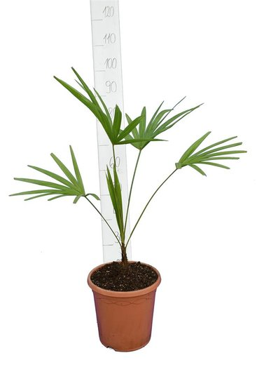 Trachycarpus latisectus - Stamm 5-15 cm - Gesamthöhe 80-100 cm - Ø 26 cm Topf