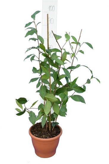 Camellia chinensis Topf Ø 23 cm gesamthöhe 80-100 cm