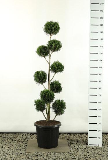 Cupressocyparis leylandii 2001 Multibol - Gesamthöhe 150-170 cm