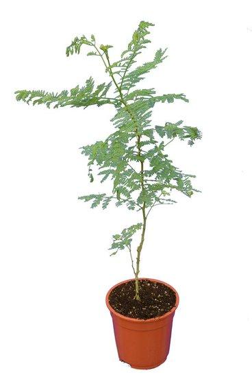 Caesalpinia gilliesii Gesamthöhe 60+ cm - Topf Ø 17 cm