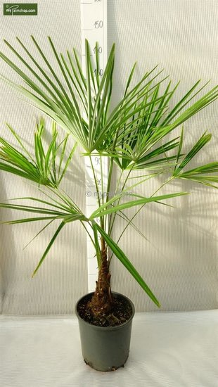 Trachycarpus sp. Kumaon Stamm 10-20 cm - Gesamthöhe 130-150 cm - Topf Ø 30 cm