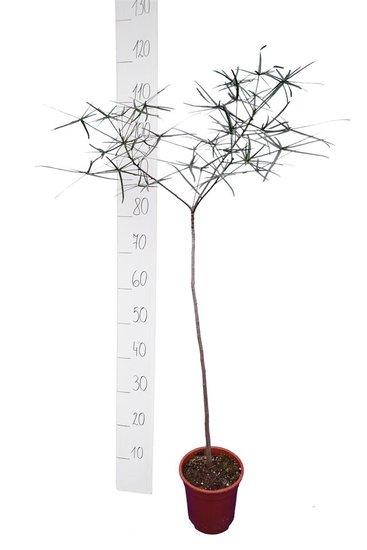Brachychiton rupestris Gesamthöhe 110-130 cm - Stamm 60 cm - Topf Ø 17 cm