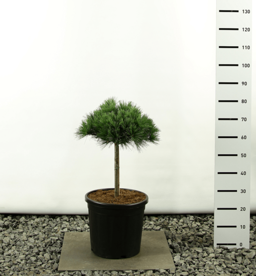 Pinus strobus Radiata Blue Shag Kugel auf Stamm