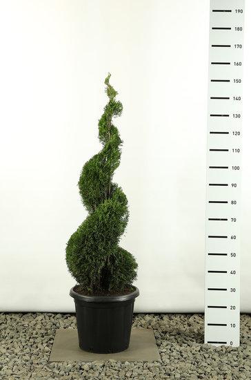 Thuja occidentalis Smaragd Spirale - Gesamthöhe 125-150 cm