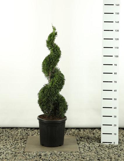 Thuja occidentalis Smaragd Spirale - Gesamthöhe 100-125 cm