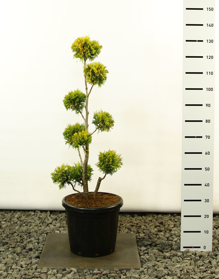 Thuja occidentalis Yellow Ribbon Multibol - Gesamthöhe 100-125 cm