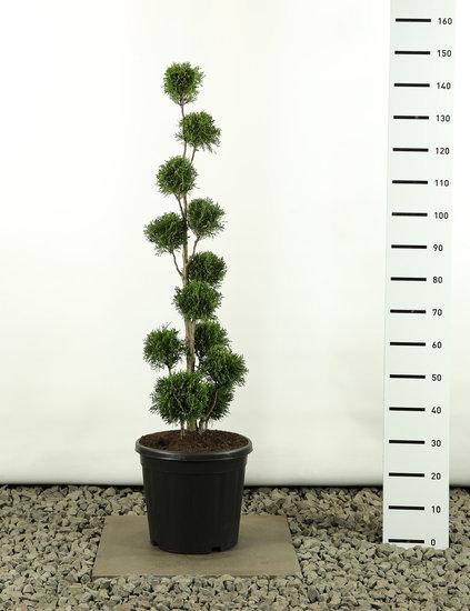 Thuja occidentalis Golden Smaragd Multibol - Gesamthöhe 125-150 cm