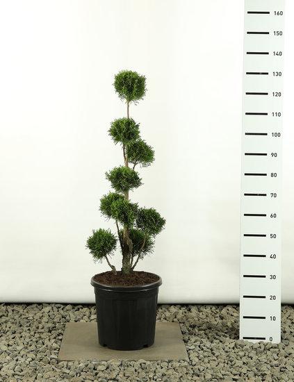 Thuja occidentalis Golden Smaragd Multibol - Gesamthöhe 80-100 cm