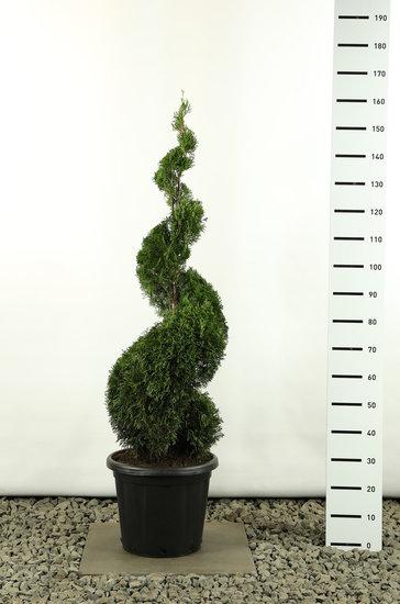 Thuja occidentalis Smaragd Spirale - Gesamthöhe 150-170 cm