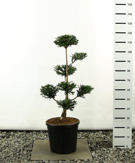 Taxus baccata Multiplateau - Gesamthöhe 80-100 cm