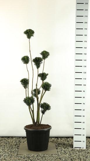 Taxus media Hicksii Multibol extra - Gesamthöhe 150-170 cm