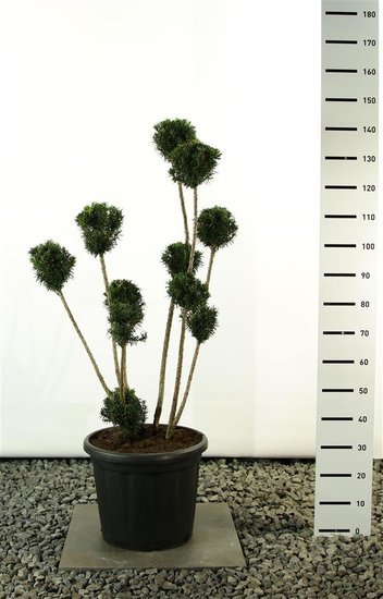 Taxus media Hicksii Multibol - Gesamthöhe 100-125 cm