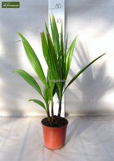 Washingtonia robusta Multistam Topf Ø 15cm  - Gesamthöhe 50-70 cm