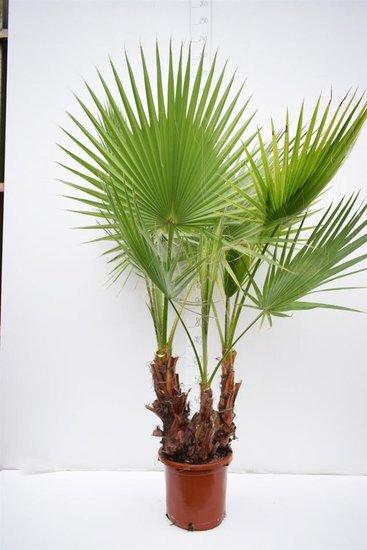 Washingtonia Robusta Multistamm Topf Ø 35cm - Gesamthöhe 140+ cm