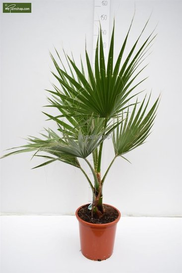 Washingtonia robusta Topf Ø 26 cm - Gesamthöhe 100-130 cm