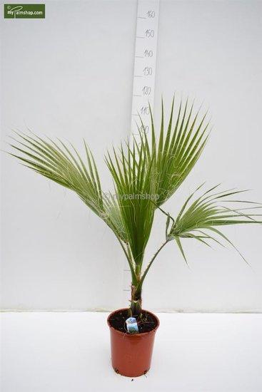 Washingtonia robusta Topf Ø 22 cm - Gesamthöhe 80-100 cm