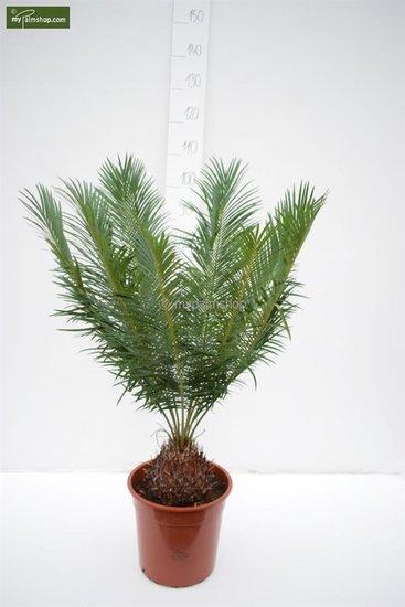 Cycas panzhihuaensis Ø 28 cm Topf - Gesamthöhe 80-100 cm