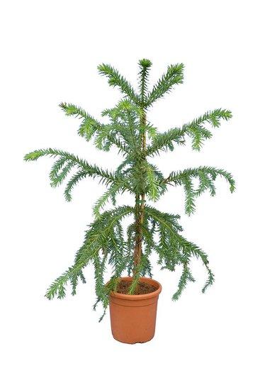 Araucaria angustifolia Gesamthöhe 120-140 cm