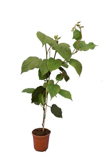 Actinidia chinensis Hayward Topf Ø 17 cm