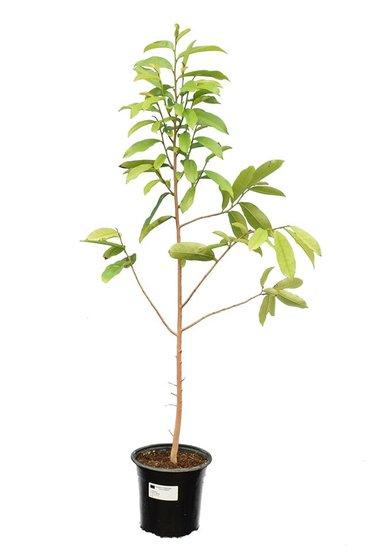 Annona muricata Topf Ø 22 cm