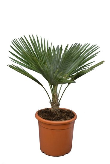 Trachycarpus princeps Gesamthöhe 60-80 cm