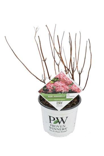 Hydrangea arborescens Ruby Annabelle 3 ltr