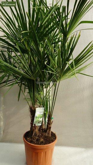 Trachycarpus fortunei ITALY Multitrunk Gesamthöhe 150-170 cm