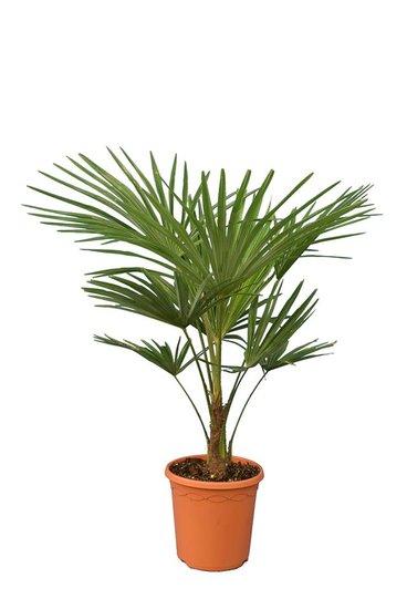 Trachycarpus fortunei - Gesamthöhe 90-120 cm - Stamm 15-25 cm - Topf Ø 26 cm