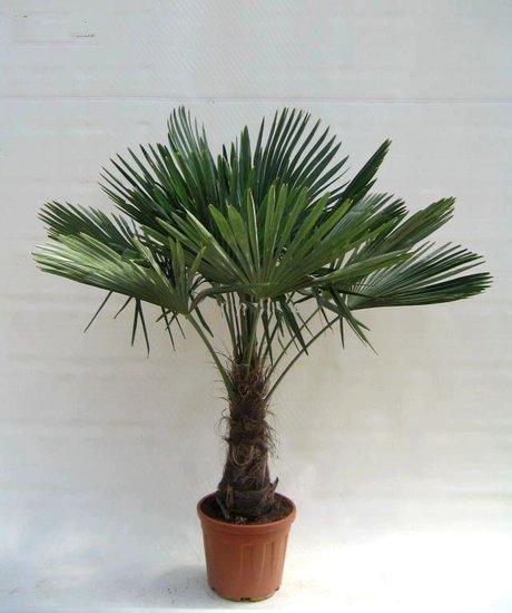 Trachycarpus fortunei Stamm 40-50 cm - Gesamthöhe 150-180 cm