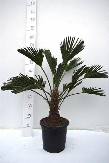 Trachycarpus wagnerianus Stamm 20-30 cm - Gesamthöhe 90-100 cm
