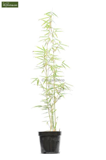 Fargesia robusta 'Campbell' Topf: 5 ltr.