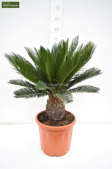 Cycas revoluta Stamm 15-25 cm - pot Ø 33 cm - Gesamthöhe 80-90 cm