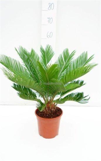 Cycas revoluta Topf Ø 18 cm - Gesamthöhe 60-80 cm