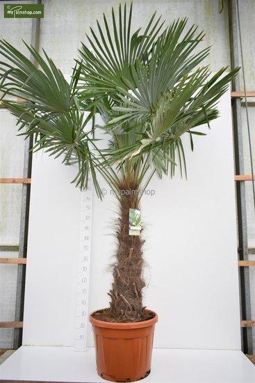 Trachycarpus fortunei Stamm 120-140 cm [Palette]