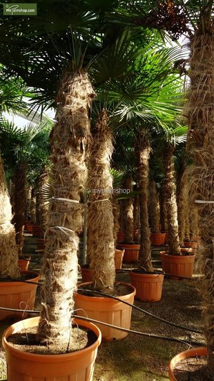 Trachycarpus fortunei Stamm 180-200 cm [Palette]