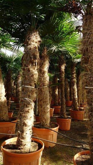 Trachycarpus fortunei Stamm 275-300 cm [Palette]