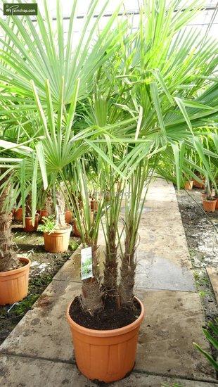Trachycarpus fortunei ITALY Multitrunk Gesamthöhe 180+ cm [Palette]