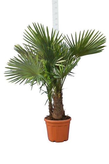 Trachycarpus fortunei Multitrunk Topf 35 ltr [Palette]