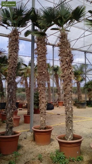Trachycarpus wagnerianus Stamm 200-225 cm [Palette]