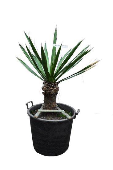 Yucca carnerosana Stamm 30-40 cm [Palette]